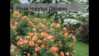 Роза Чарльз Дарвин