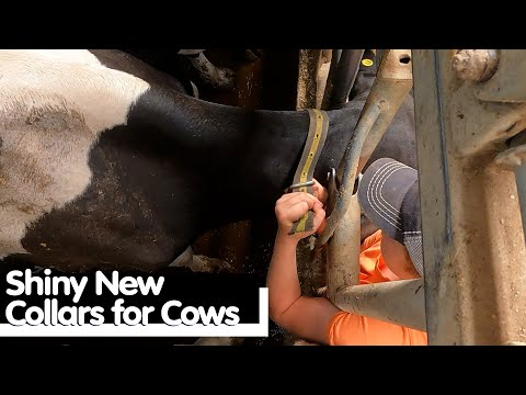 , title : 'Shiny New Collars for Cows