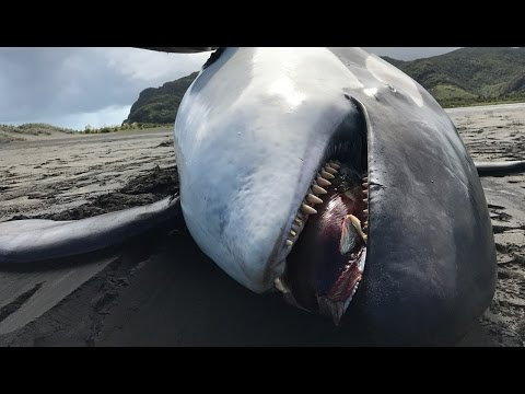 Orca found dead on West Auckland beach