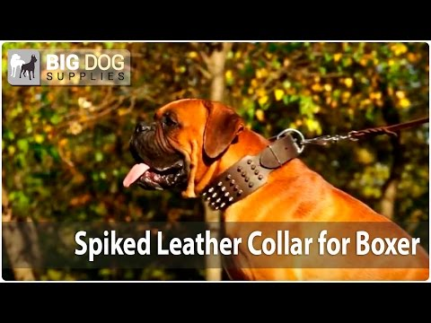 "Boxer Dog Walking - Awesome Design ""Spiky Fashion"" Collar With Spikes"