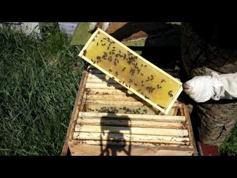 Майский мёд в Свердловской области, работа пчелы на ранневесенних медоносах.