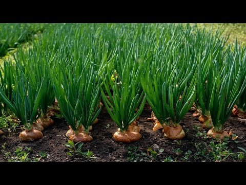 , title : 'Amazing Onion Farming and Harvesting Techniques - Amazing Onion Cultivation