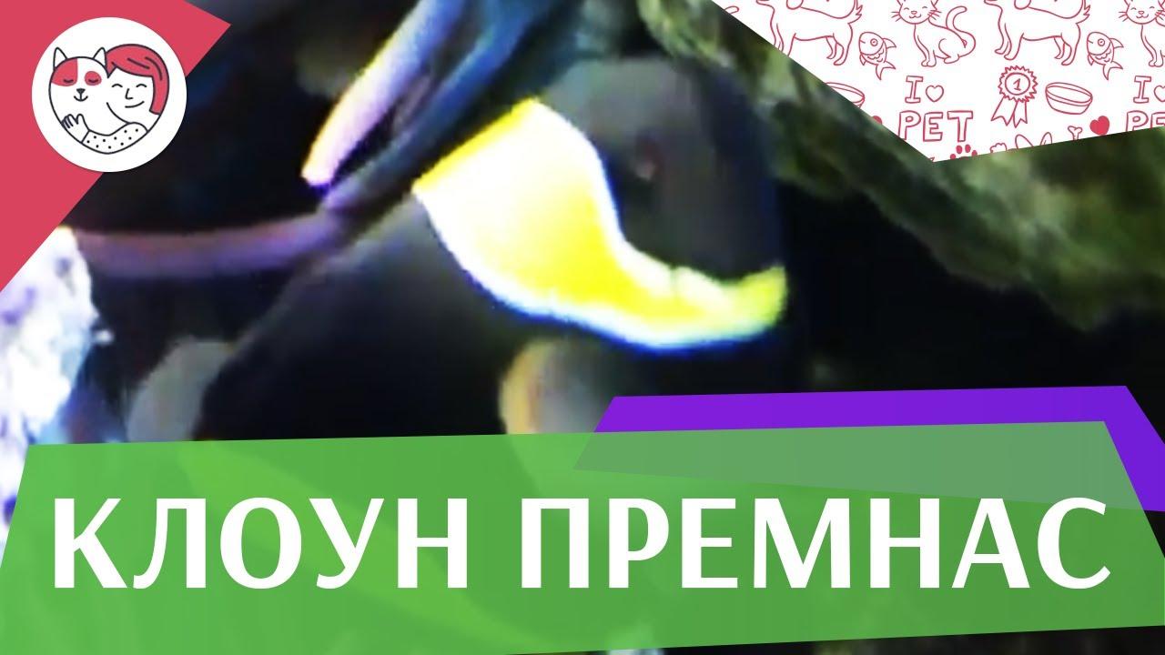 Клоун премнас трехполосый Описание на ilikepet