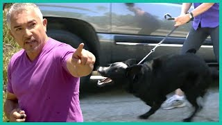 Out Of Control And Aggressive German Shepherd | Cesar 911
