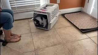 Biewer Puppies Videos