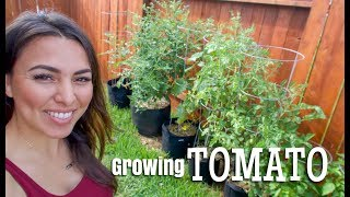 🍅Growing Tomatoes 🍅 // First Time // Beefsteak // Roma