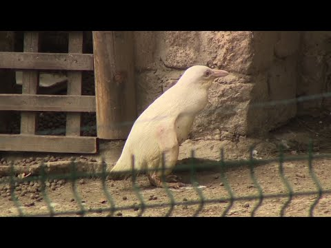 An unique albino penguin made his media debut on Friday at a zoo in Poland. According to the director of Gdansk zoo the shy white chick is the only albino penguin in the world. (March 22)