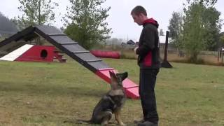 6 month old German Shepherd training at Kraftwerk K9