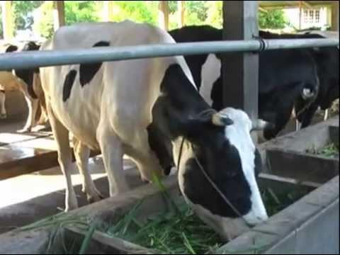 Video Manajemen ternak sapi perah #1