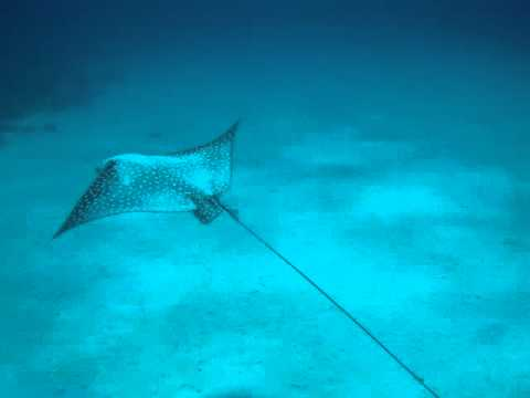 Spotted eagle ray in Colombia