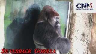 Huge Silverback Gorilla Up Close!