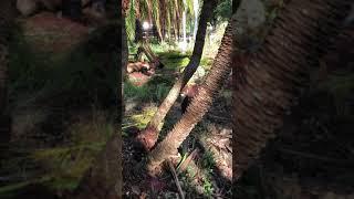 Phoenix Roebelenni/Reclanata Hybrid Palm