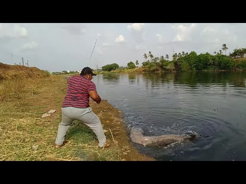 Fish huntingBig catfish catch