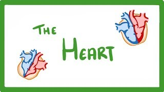 GCSE Biology - The Heart  #17