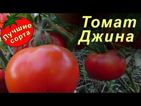 Томат Джина (Лучшие сорта томатов)