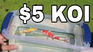 BUYING 5 DOLLAR Koi for my MINI POND!