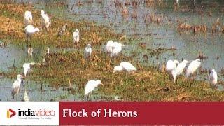 Flock of herons in paddy fields of Kuttanad