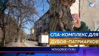 Общественники подготовили новгородские дубы-патриархи к лету