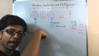 Histone acetylation and methylation
