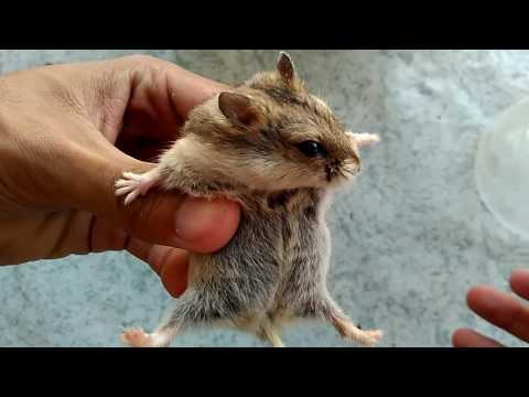 Video Cara Pegang Hamster Supaya Tidak Digigit