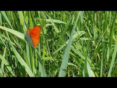 Vierme molie