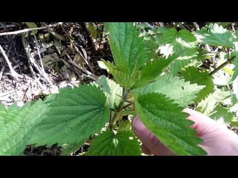 Recensioni di sementi cassia toro