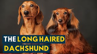 Long Haired Dachshund: Your Guide To This Undeniably Cute Weiner Dog!