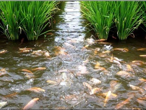 Video Panen Padi Dan Ikan Sistem Mina Padi