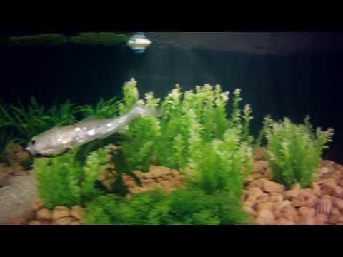Lesca viva per pescare in Yaroslavl