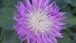 Василёк садовый розовый. Многолетнее растение