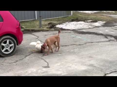 Duck Follows Dog Everwhere - 995224