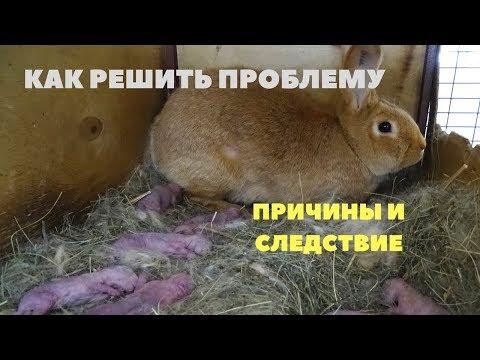 Крольчиха раскидала, не кормит крольчат. Решение проблемы