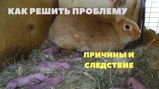 Самка раскидала, не кормит крольчат. Решение проблемы