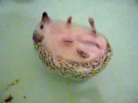 Puppies and Flowers : Swimming African hedgehog