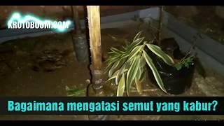 KROTOBOOM; Mengatasi Semut Kroto Yang Kabur