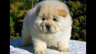 10 razas de perros más caras, pero hermosas