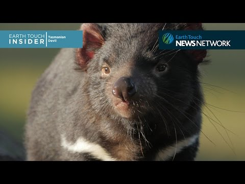 Racing To Save The Tasmanian Devil Mp3
