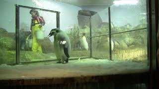#2-18 Jan 2018 Emperor penguin at Adventure world, Japan