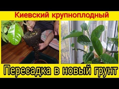 Домашний лимон на подоконнике. Как пересадить лимон Киевский крупноплодный.