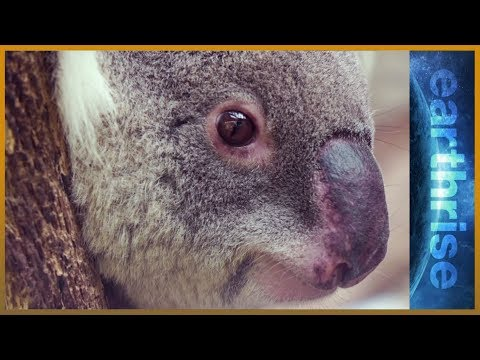 🐨 Life in the urban jungle: Can Australia save its koalas? - earthrise