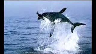 Уникален скок на Акула на метри над водата!!!