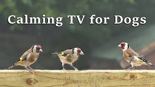 Calming Dog Watch TV - Beautiful Garden Birds - Videos for Dogs