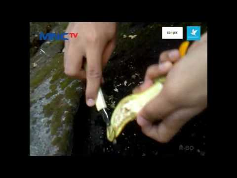 Video TUTORIAL CARA MENANAM TERONG YANG PRAKTIS DAN MUDAH