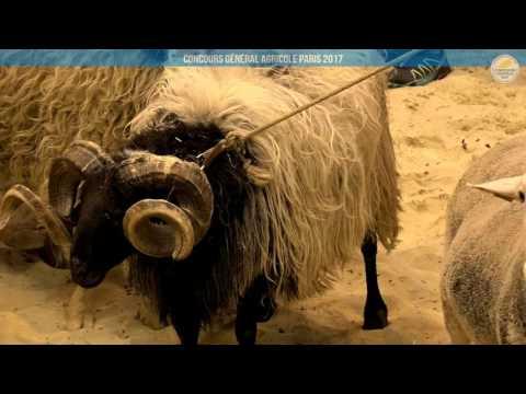 Voir la vidéo : Ring Ovins et Caprins du 04 mars 2017, partie 2