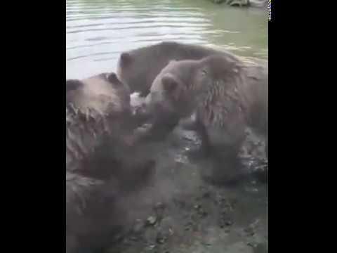 Волки против медведей. Отвага