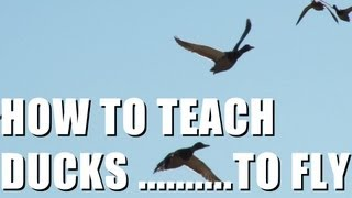 Fieldsports Britain : Teaching ducks to fly + fox and pigeon shooting (episode 146)
