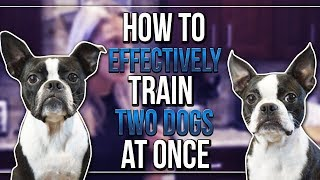 HOW TO EFFECTIVELY TRAIN BASIC OBEDIENCE WITH TWO DOGS AT ONCE
