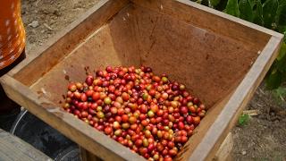 Sumatra Coffee Video