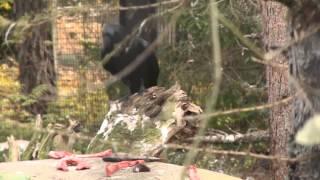 Korpit Raakkuvat Korkeasaaren Eläintarhassa