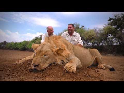Pořádný lev